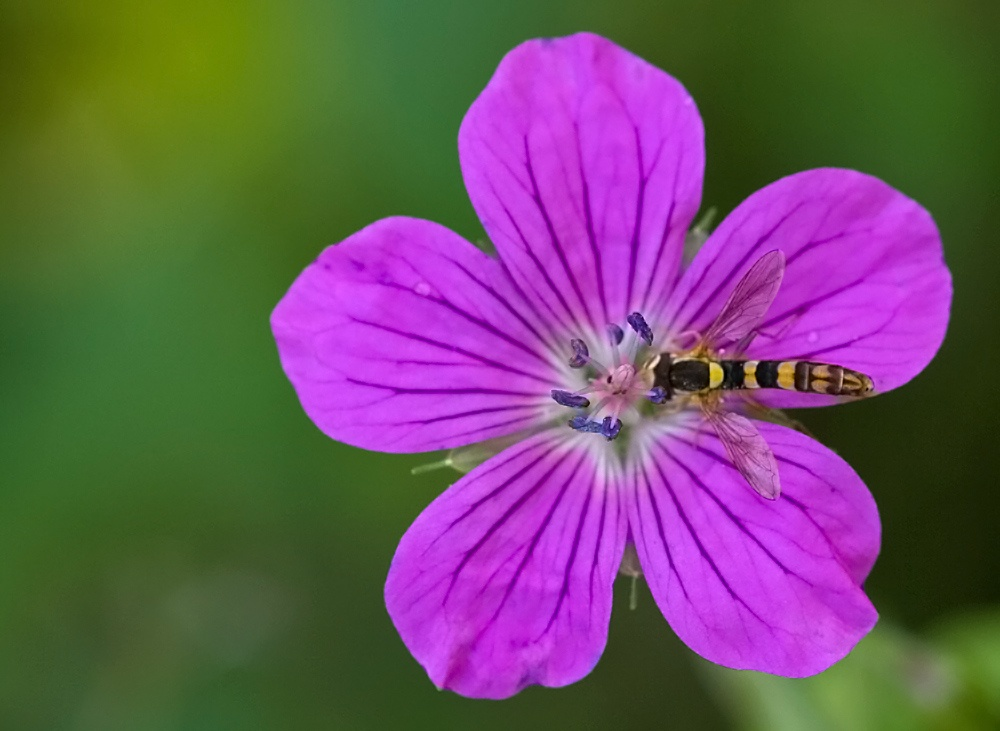 Photo in Macro #macro #insect #fly #hooverfly #imago