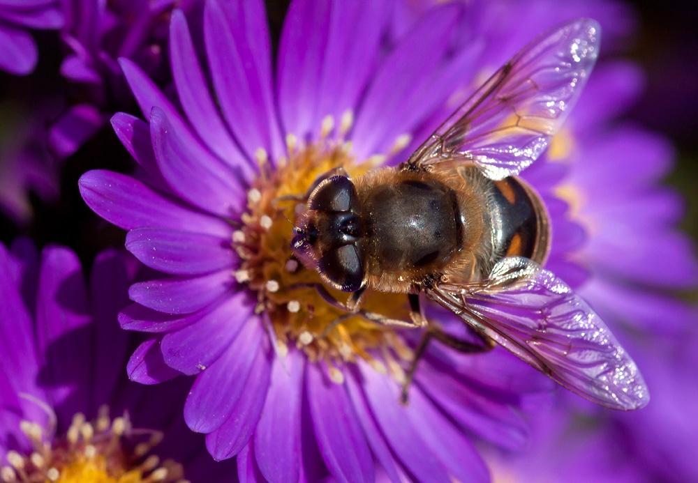 Hooverfly by karlvock