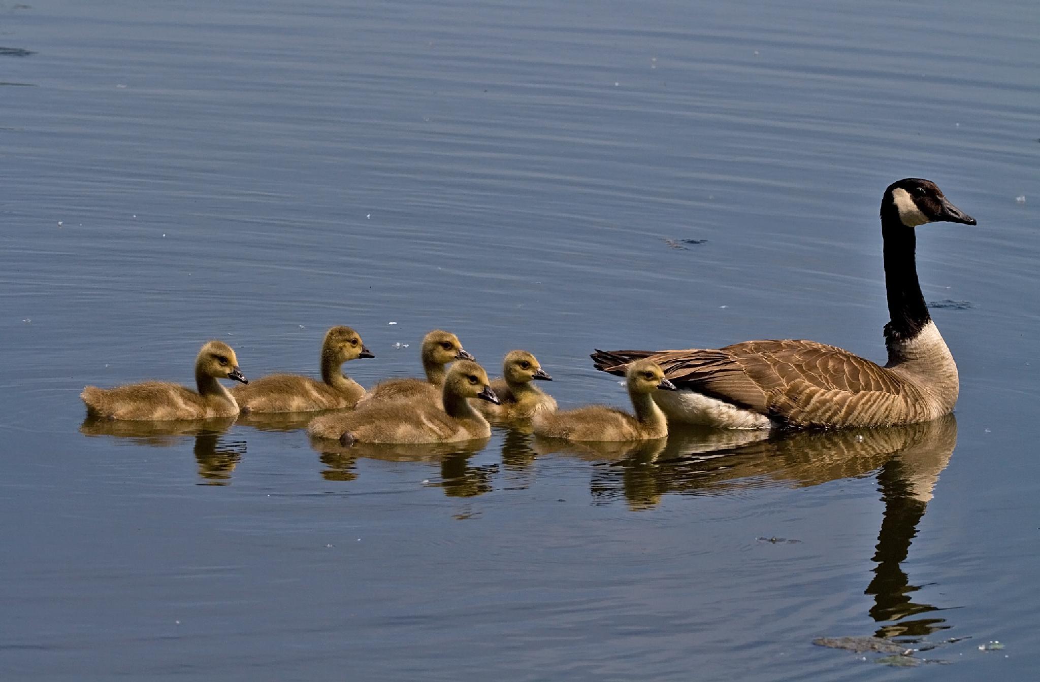 Photo in Animal #natur #nature #birds #waterbirds #goose #gossefamily