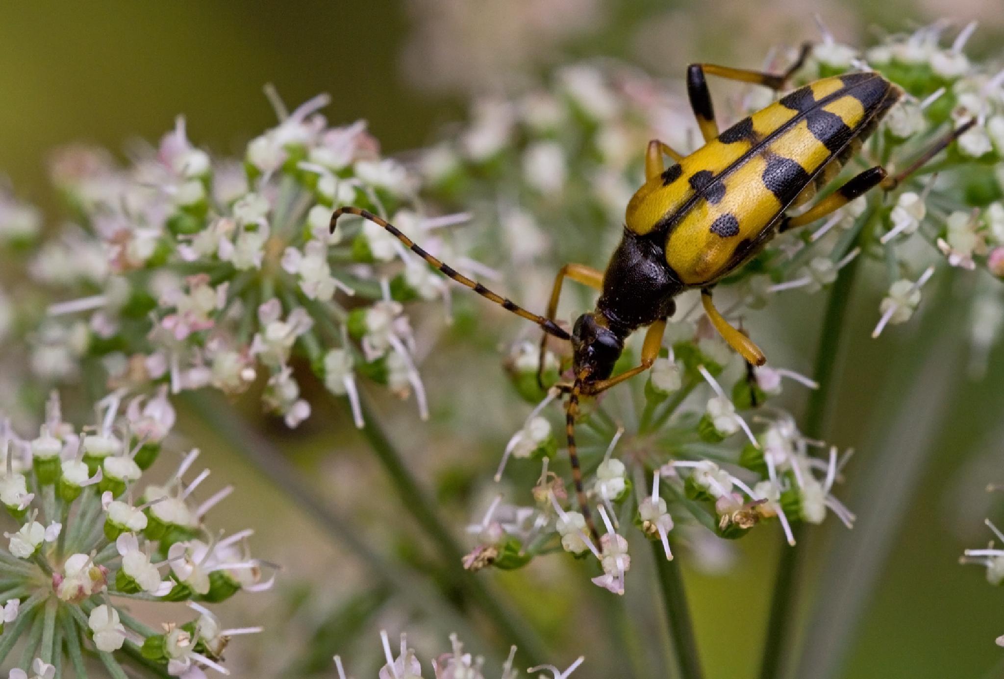 Beetle Gefleckter Schmalbock by karlvock