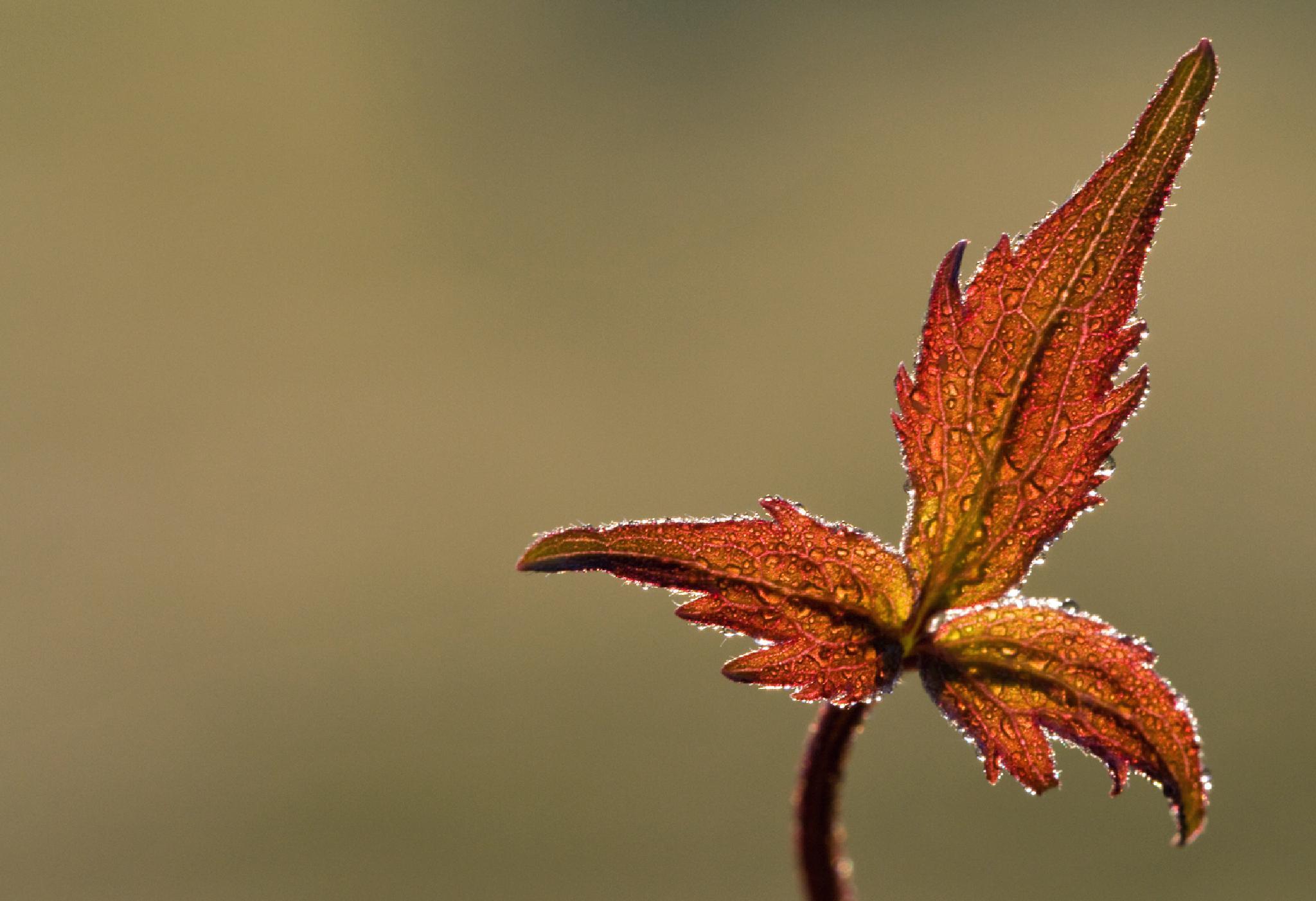 Photo in Macro #macro #water #wasser #tropfen #drops #clematis #autumn