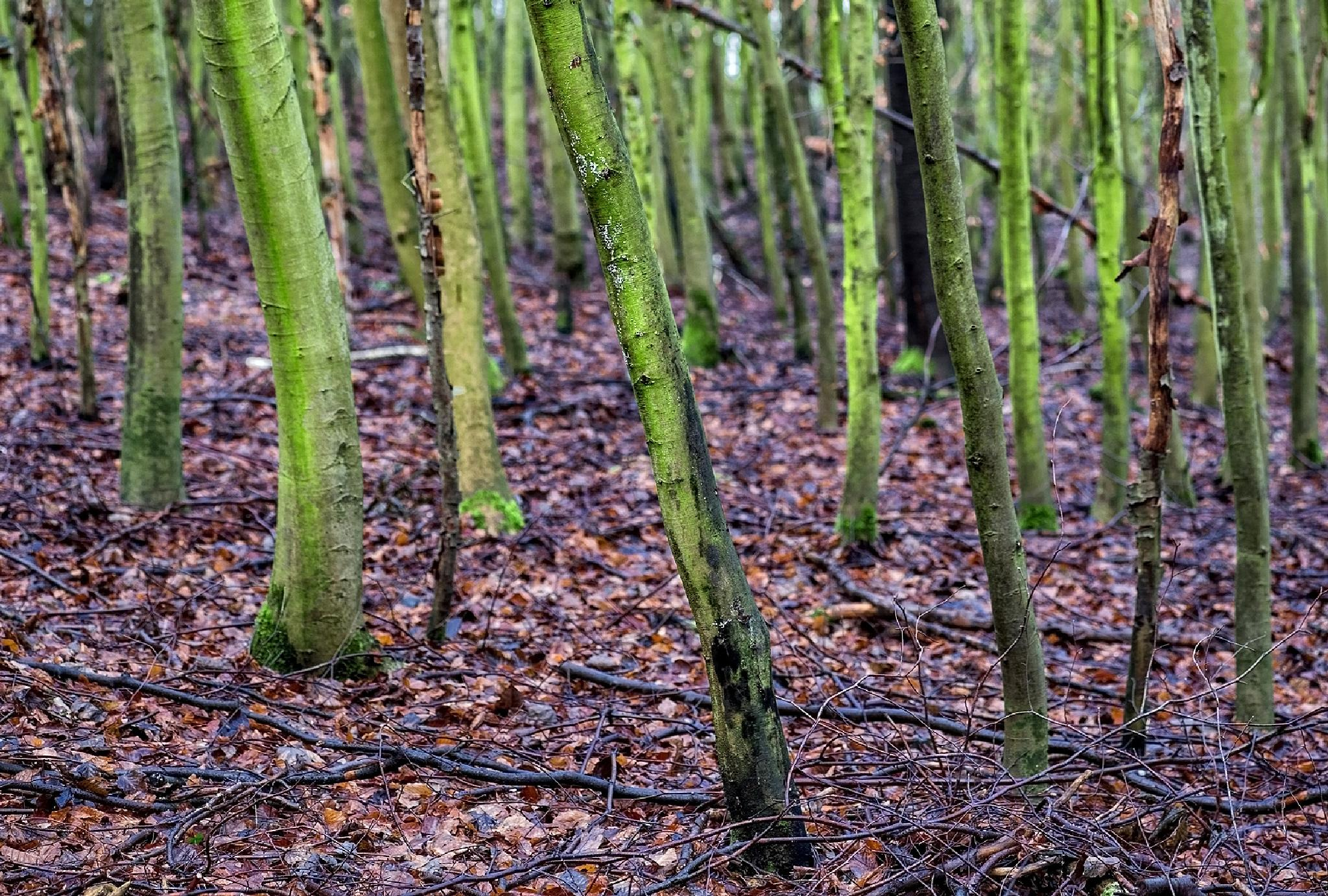 Youn acers by karlvock