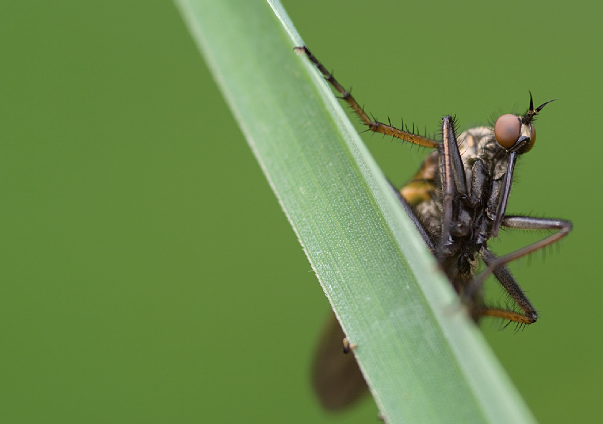 Photo in Macro #macro #insect #fly #dance fly #imago #tanzfliege