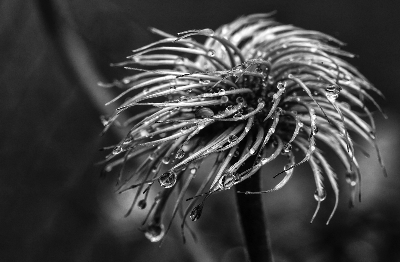 Clematis by karlvock