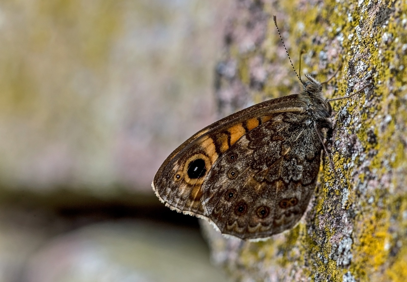 Wall brown butterfly by karlvock
