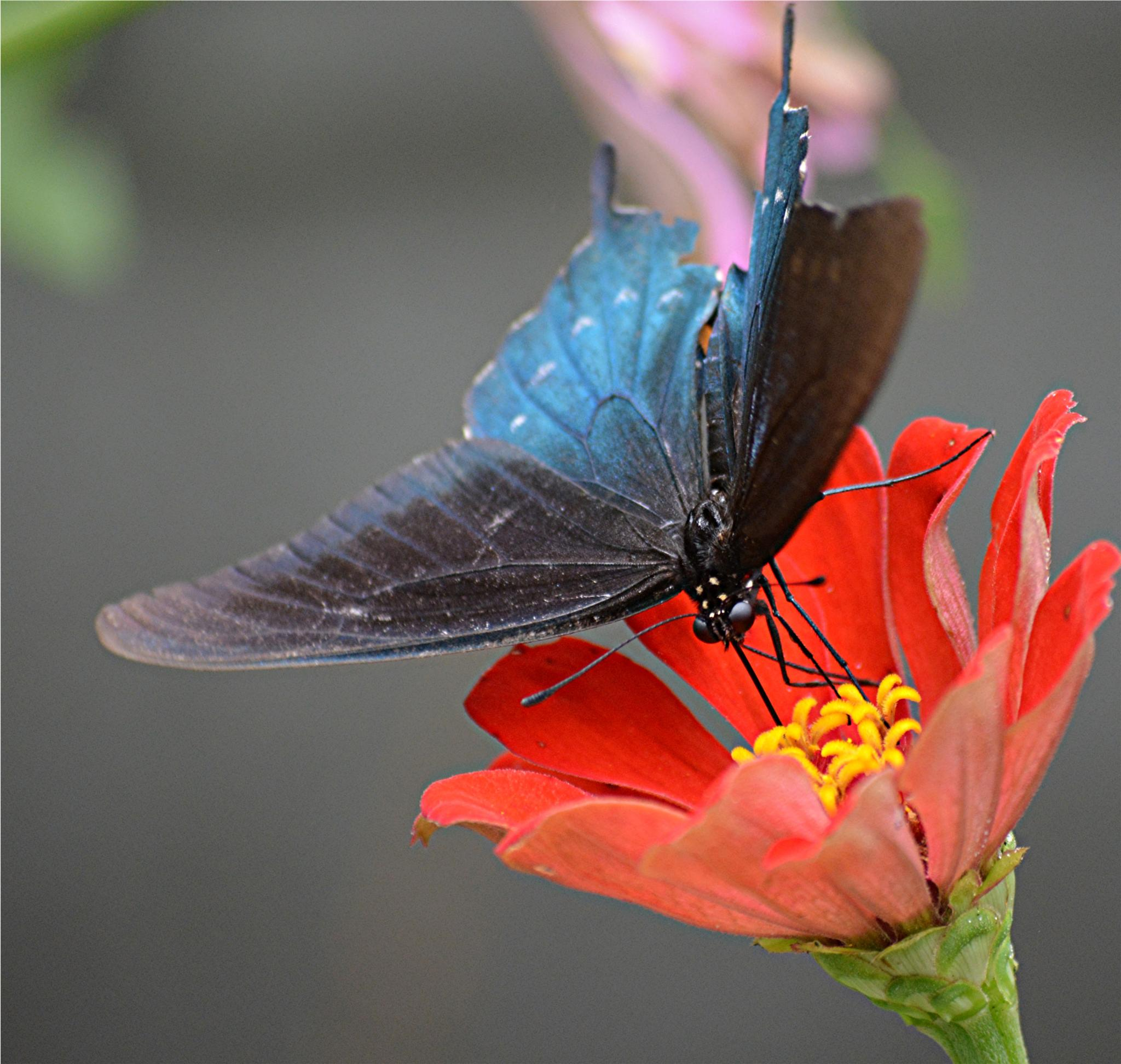 Photo in Macro #swallowtail #pipevine #butterfly #zinnia