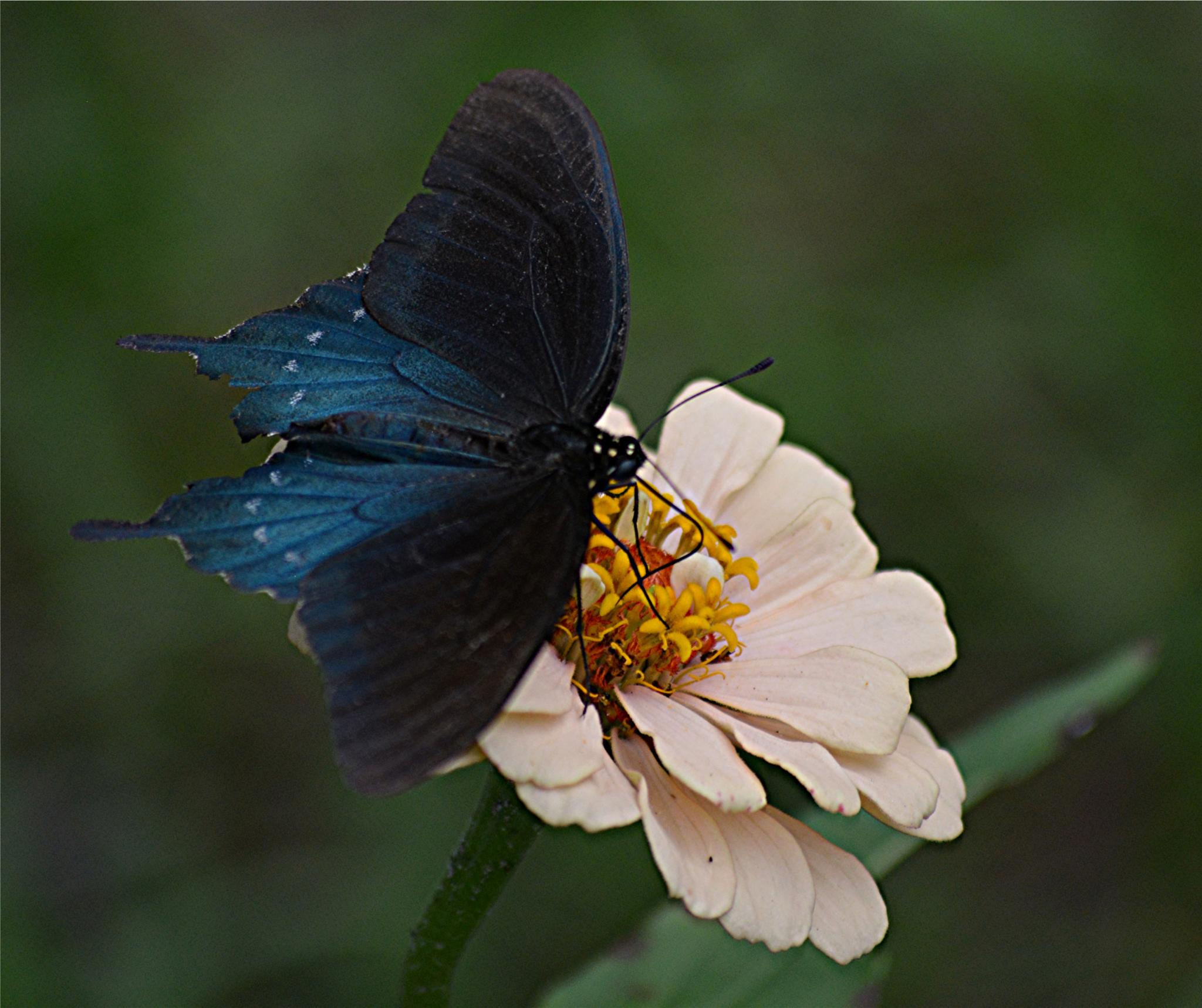 Photo in Random #swallowtail #butterfly #pipevine