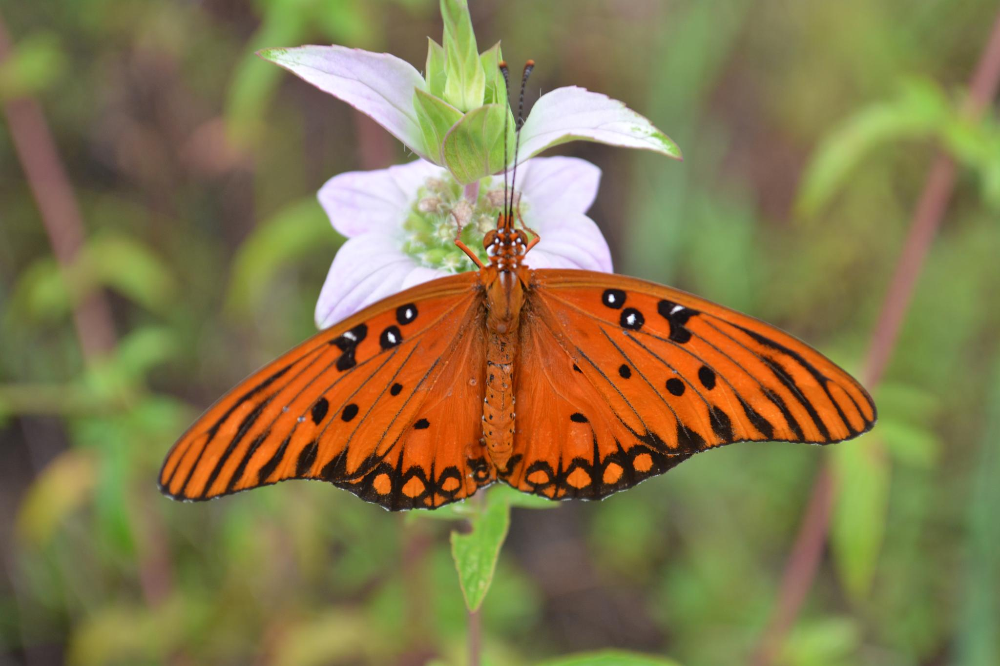 Fritillary butterfly on wild flower by rayzicakes