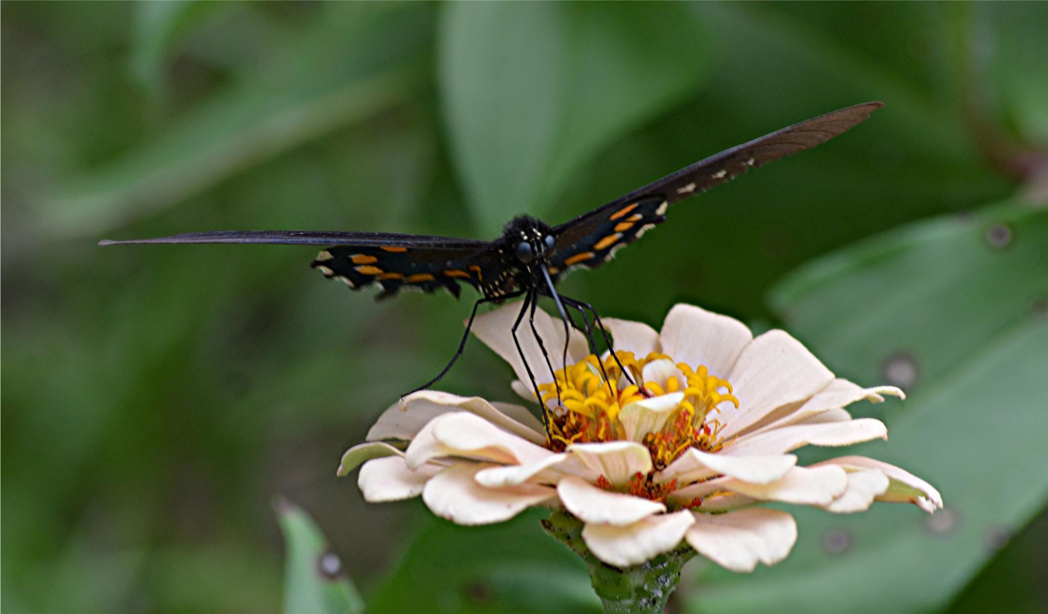 Photo in Random #stealth #butterfly #swallowtail