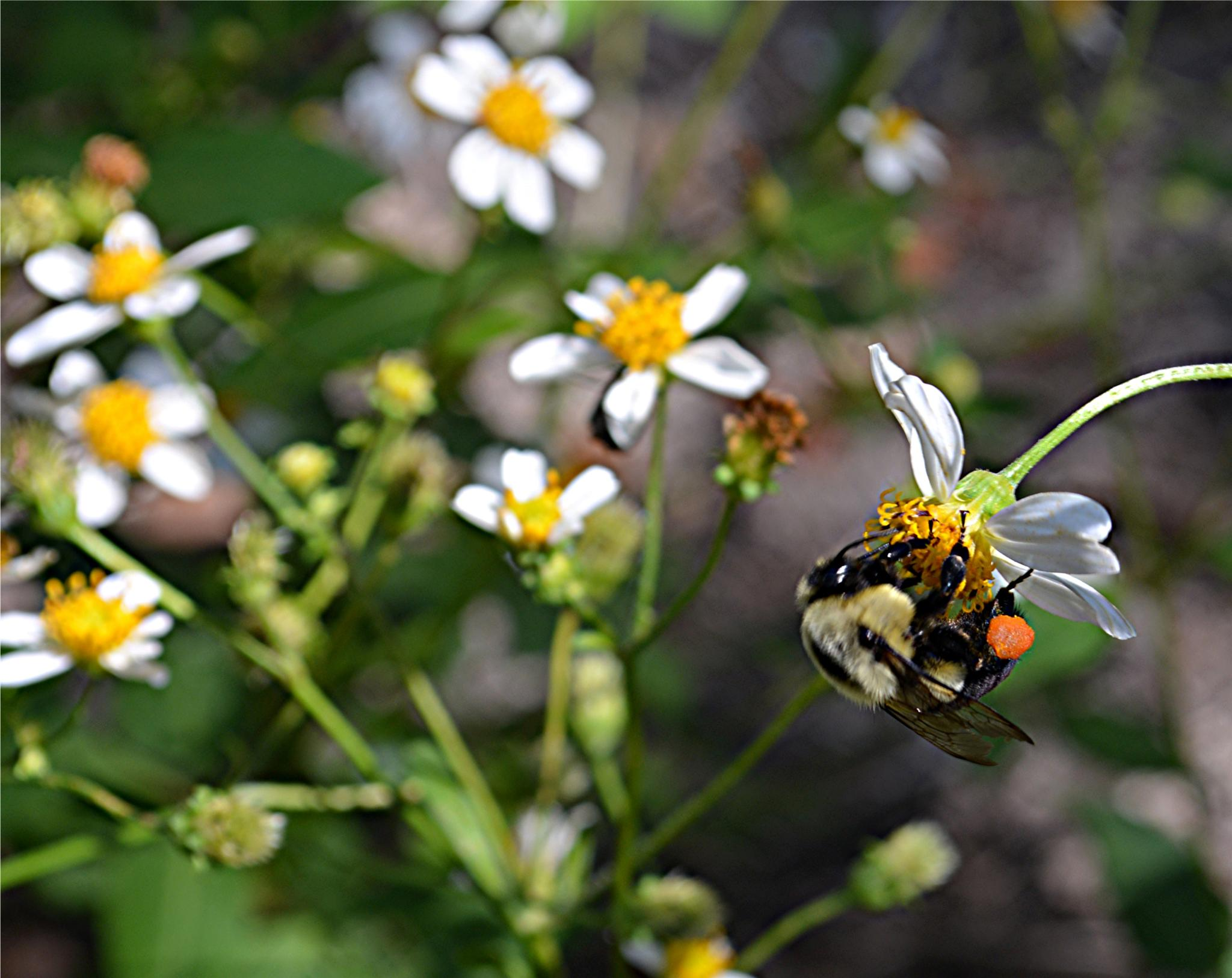 Photo in Nature #bumble #bee #white #yellow #wild #flowers