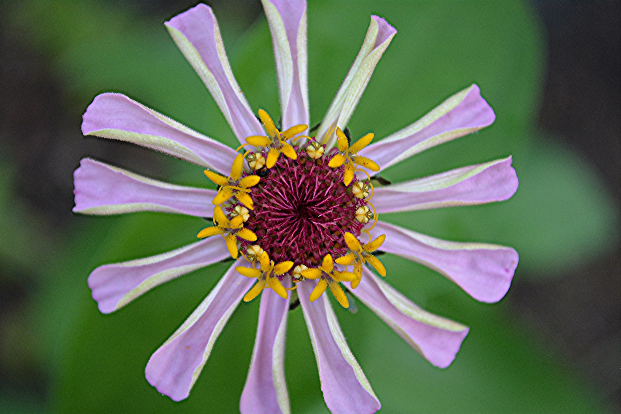 Zinnia in bloom by rayzicakes