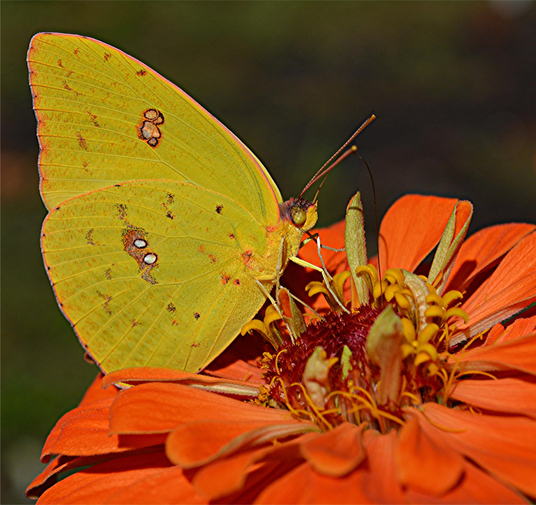 Photo in Nature #yellow #orange #butterfly #zinnia #flower