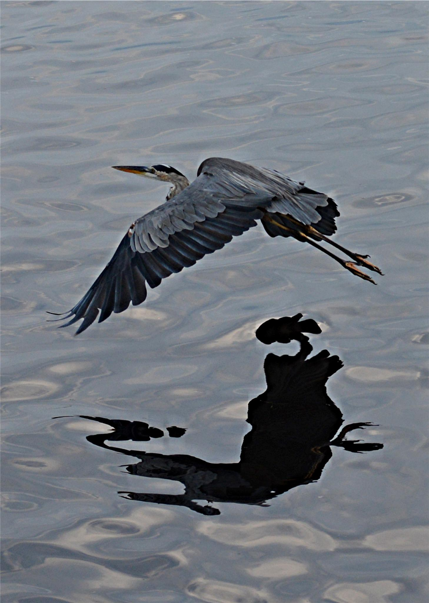 Blue heron over water by rayzicakes