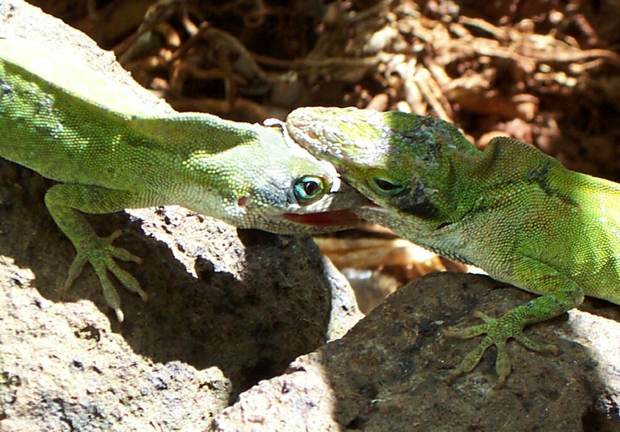 Hawaiian lizards communicating by rayzicakes