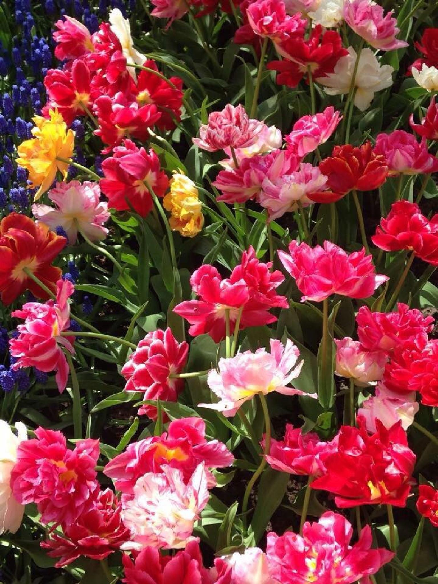 Tulips by Anjana Chakraborti