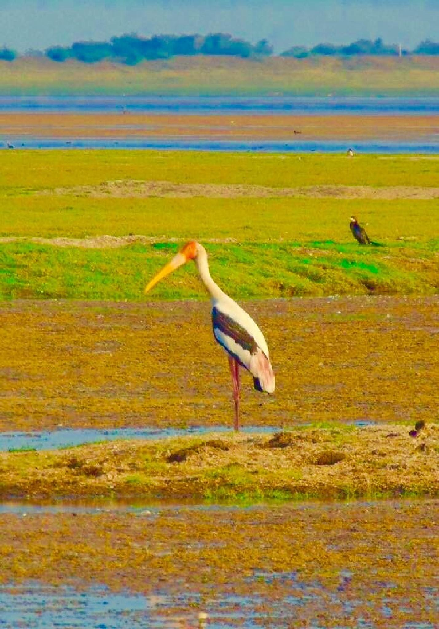 Painted stork 2 by Anjana Chakraborti