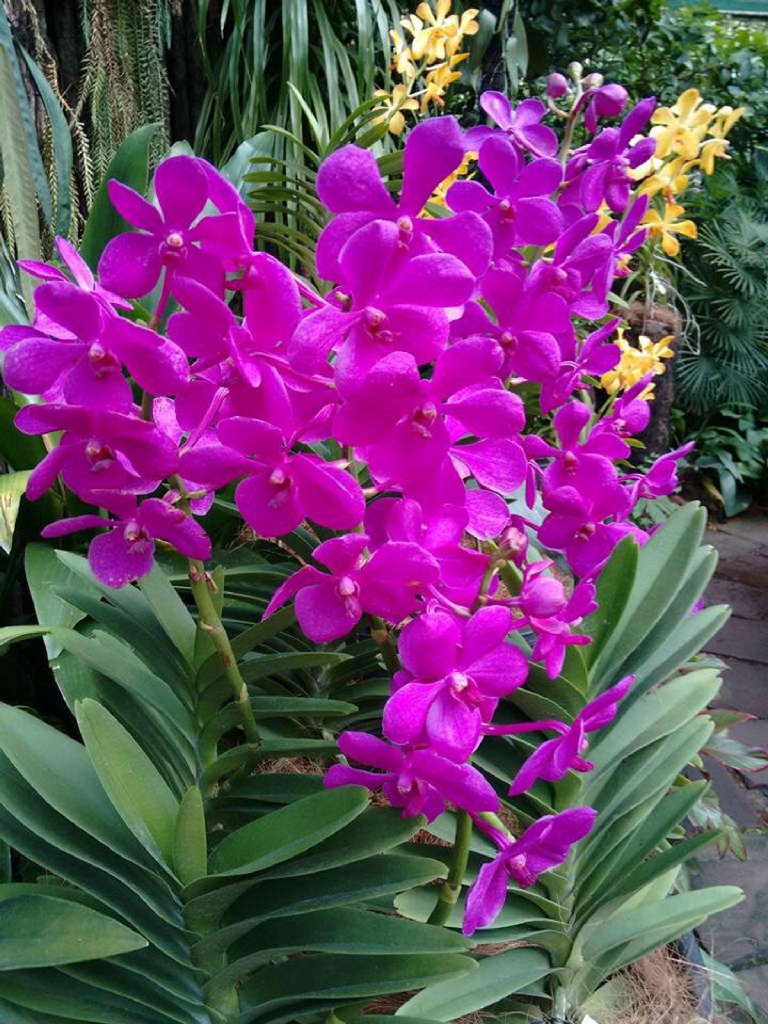 Orchids  by Anjana Chakraborti