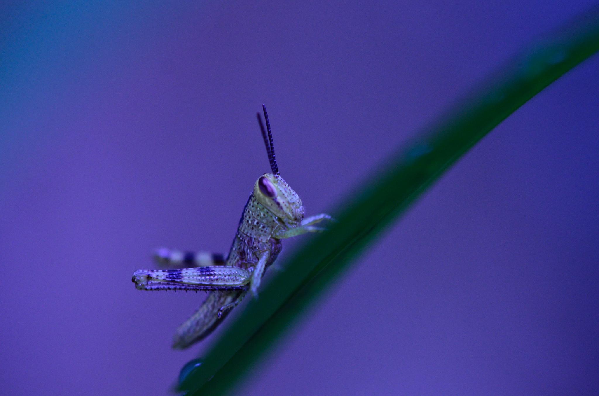 Grass Hopper  by Yulius B Susilo