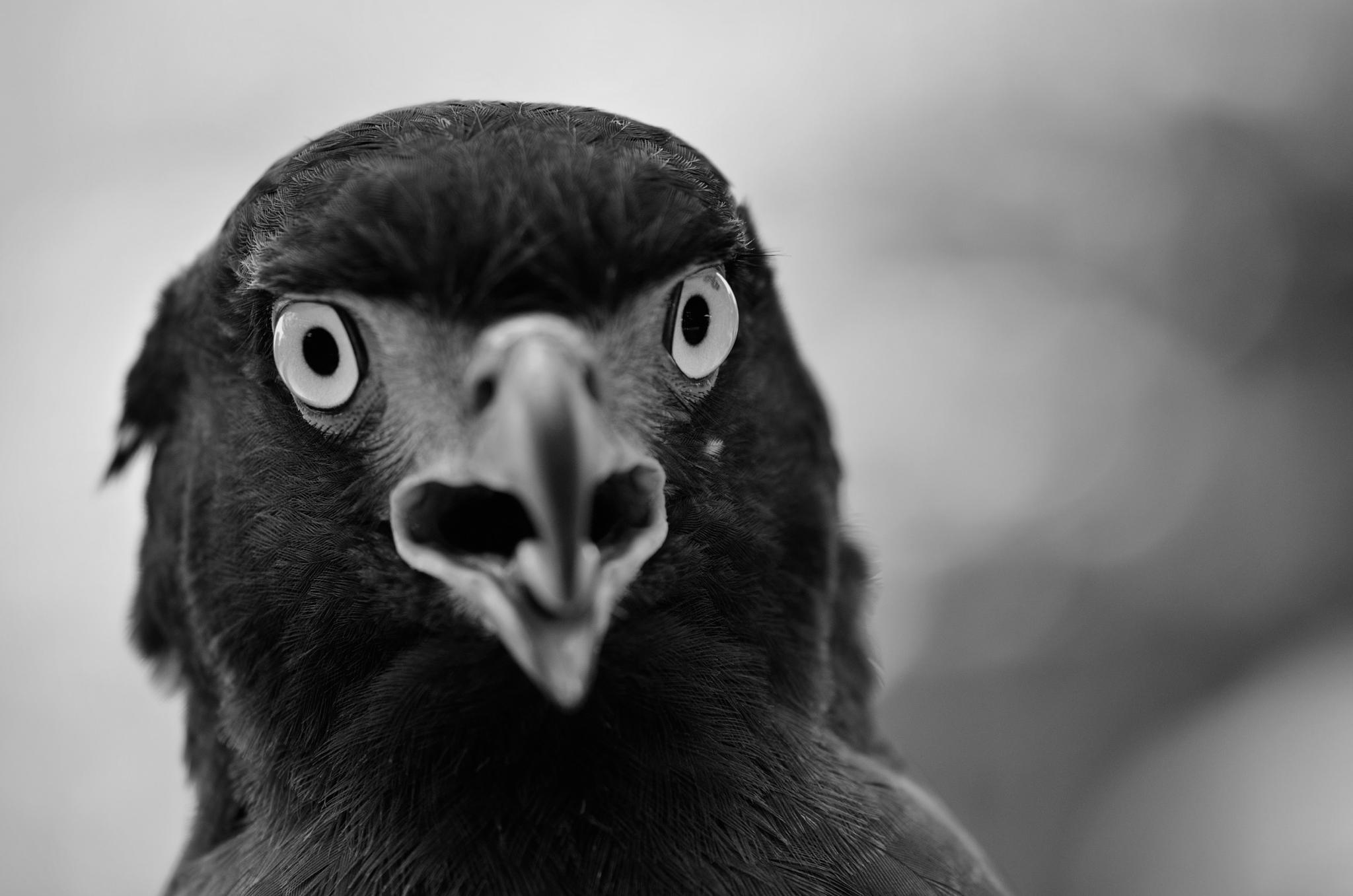 Eagle BW by Yulius