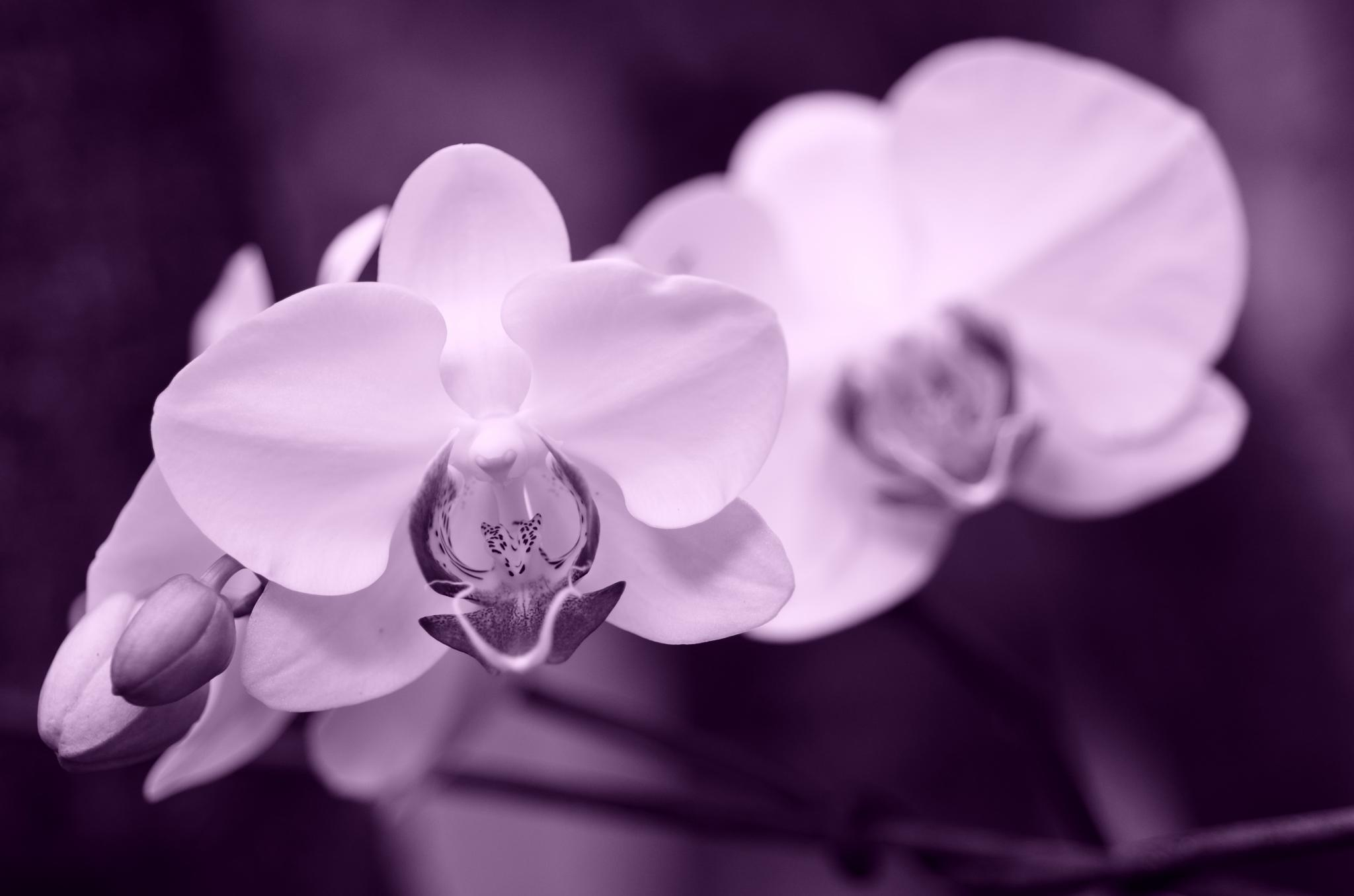 Orchid in Monochrome by Yulius