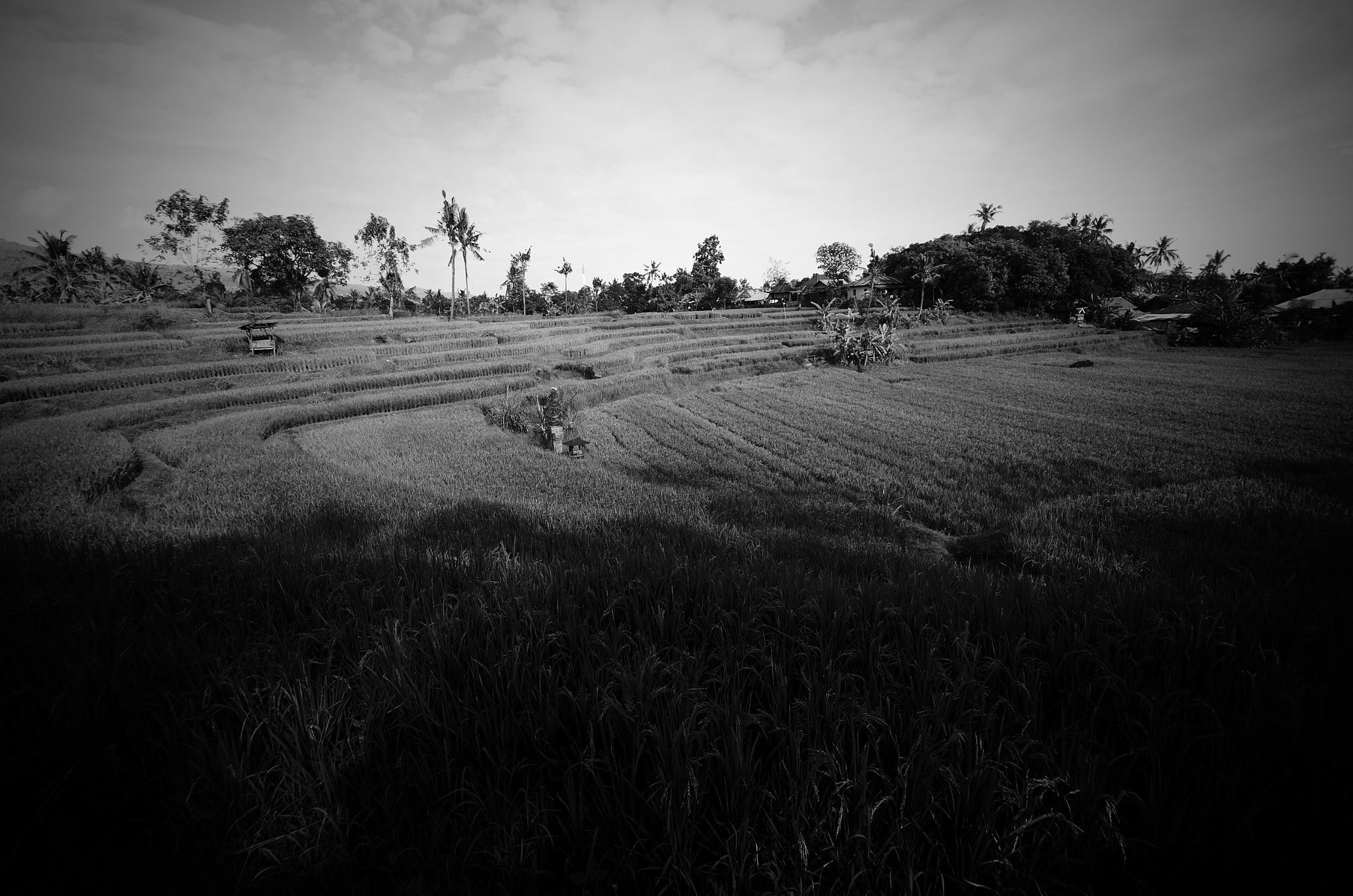 Rice Field by Yulius
