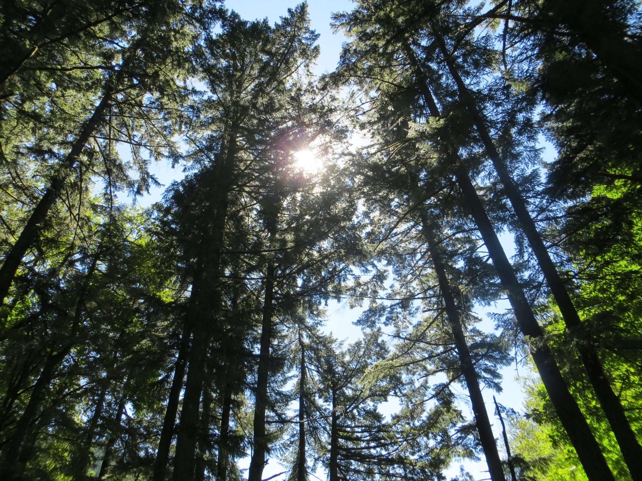 Towering trees by Barbara Stockford