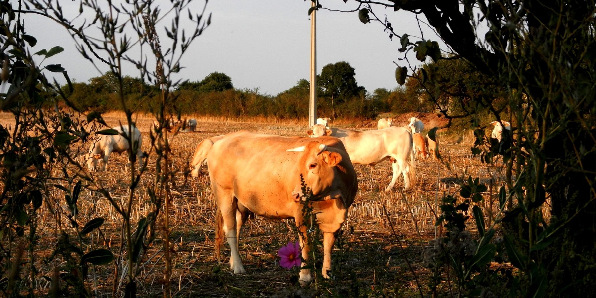 near home cows my friends by pawel2reklewski