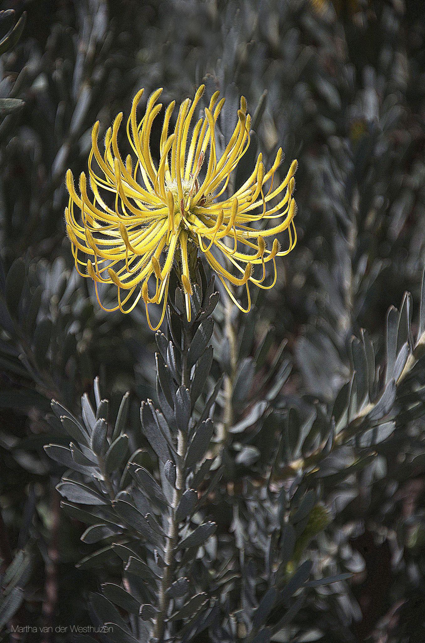Yellow Pincushion by Martha van der Westhuizen