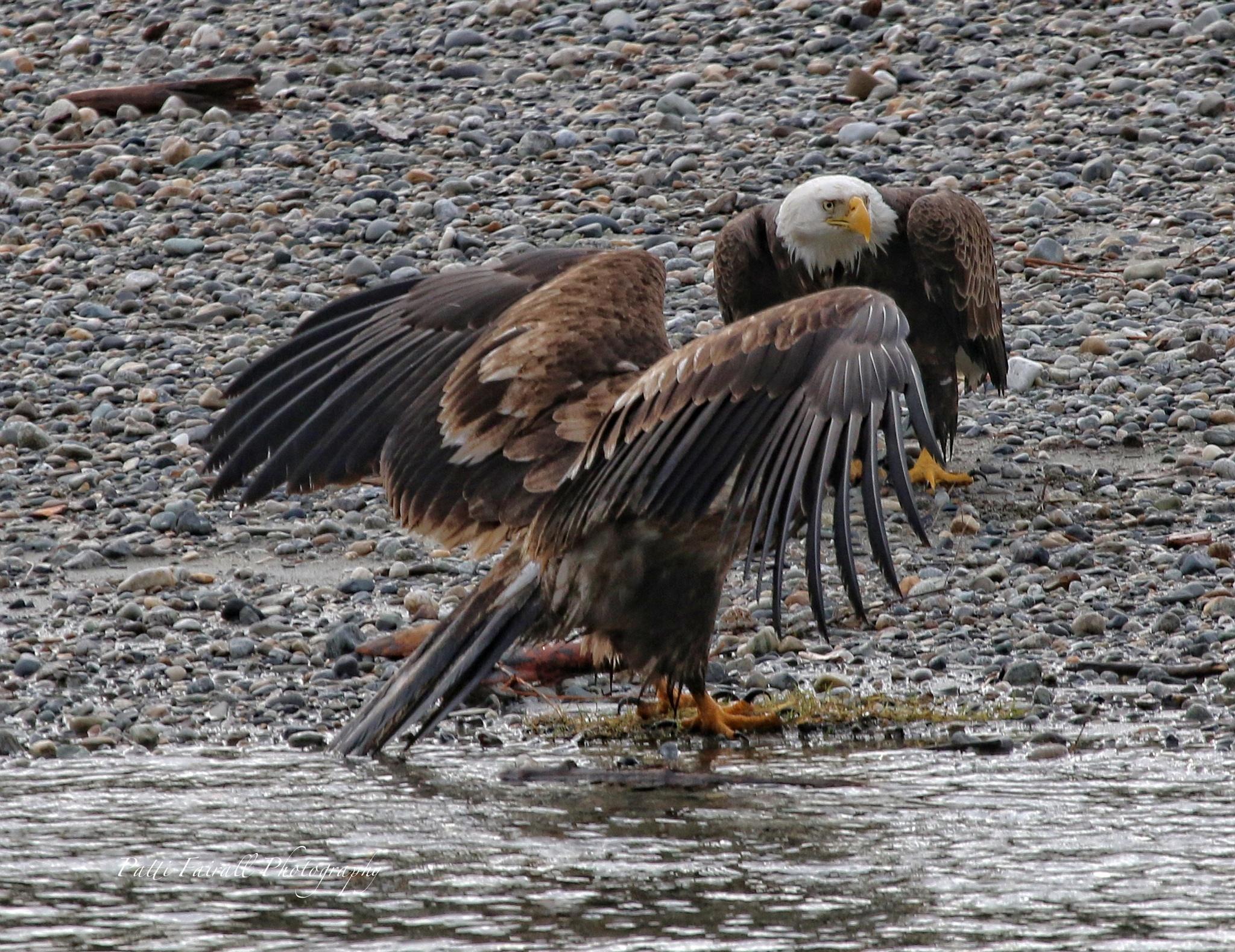 SKAGIT RIVER EAGLES by shutterbug9692