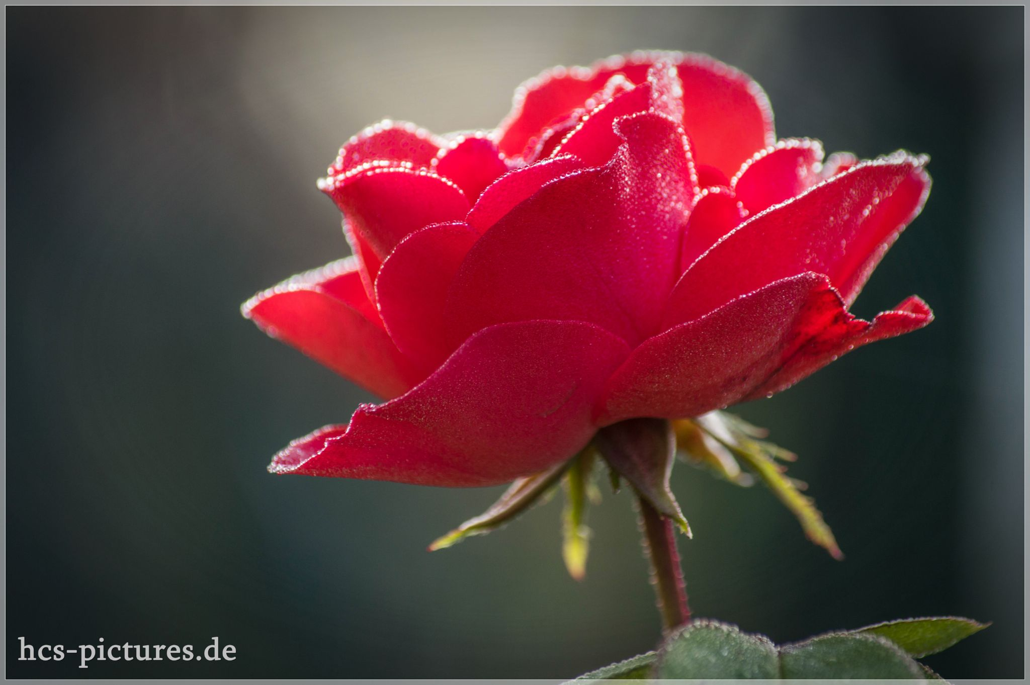 rose by Steffi Wintermantel (hcs-pictures)
