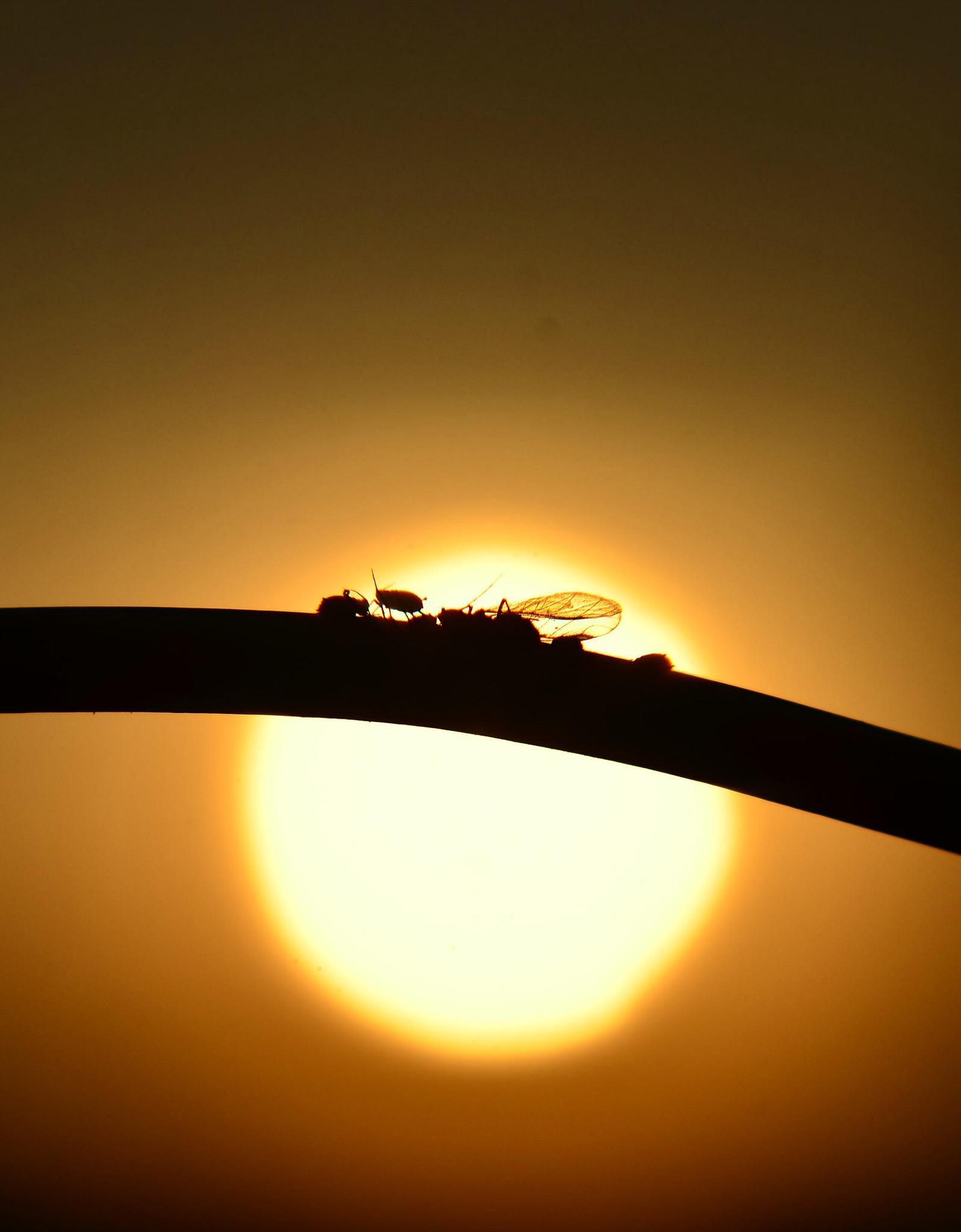 Silhouette van luisjes in de ondergaande zon by cynthia82a