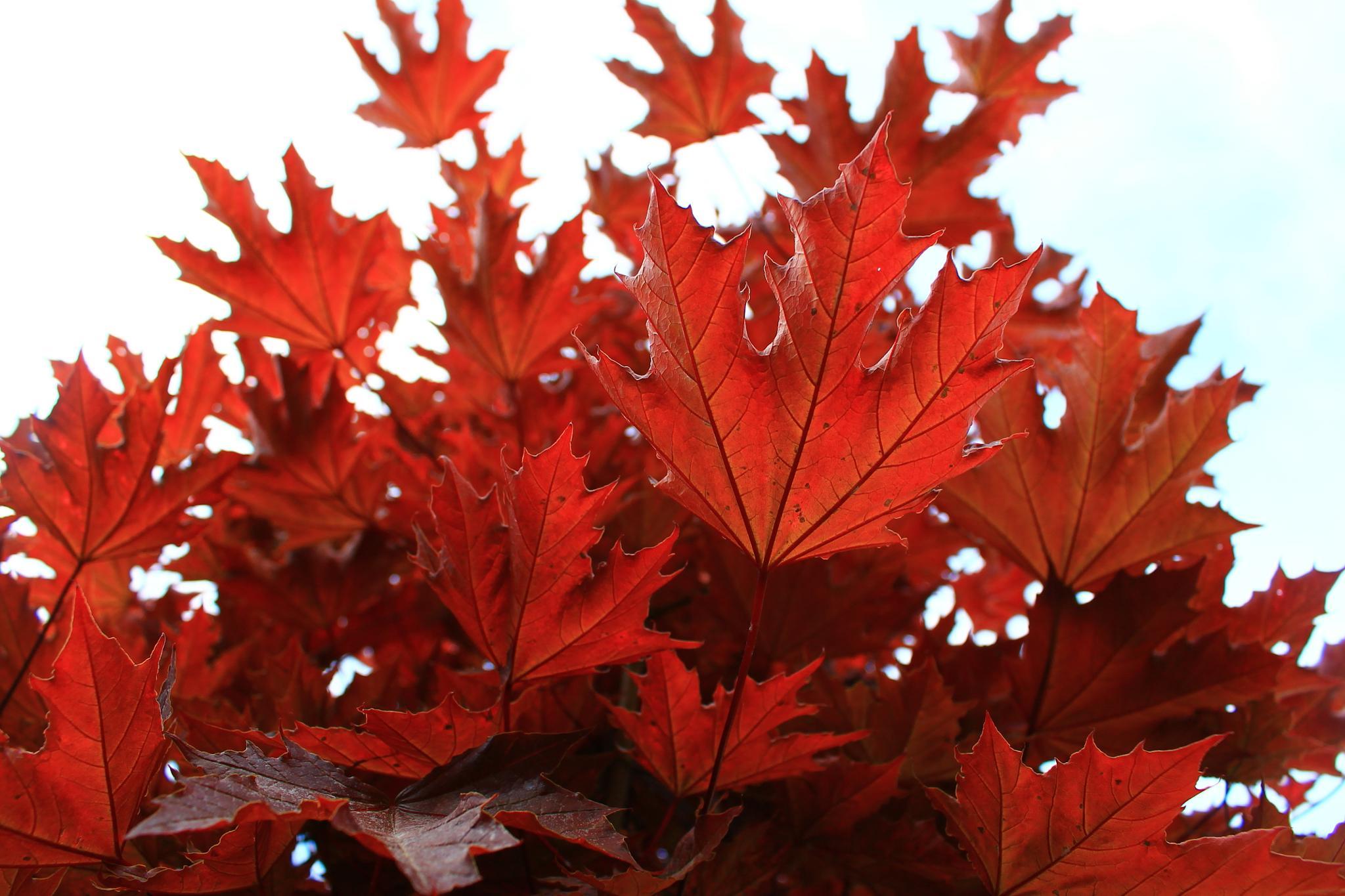 Red Leaves by Pontus Hübner