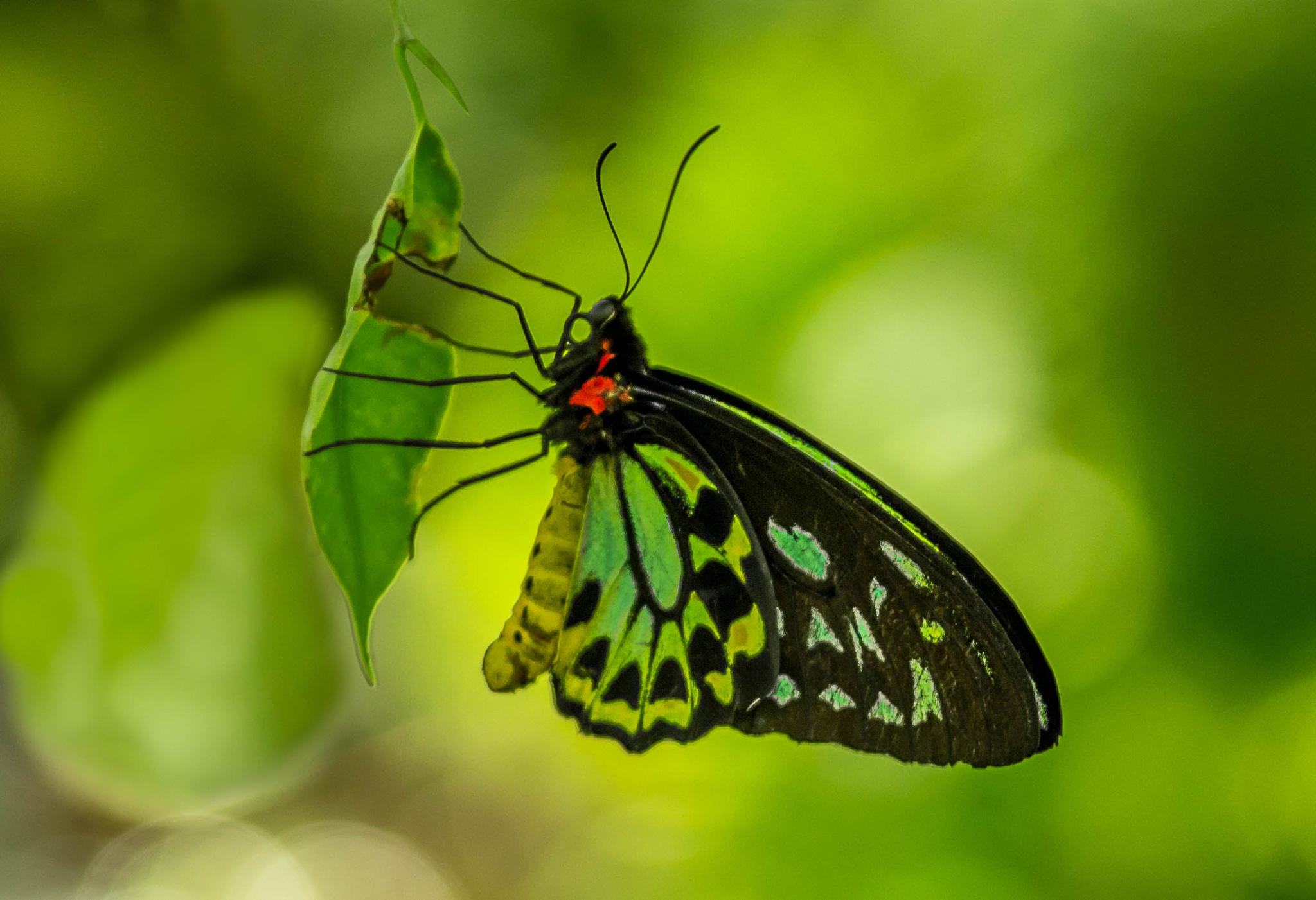 green butterffy by PepeRojas