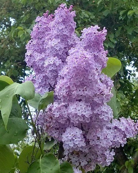 lilacs by franki503