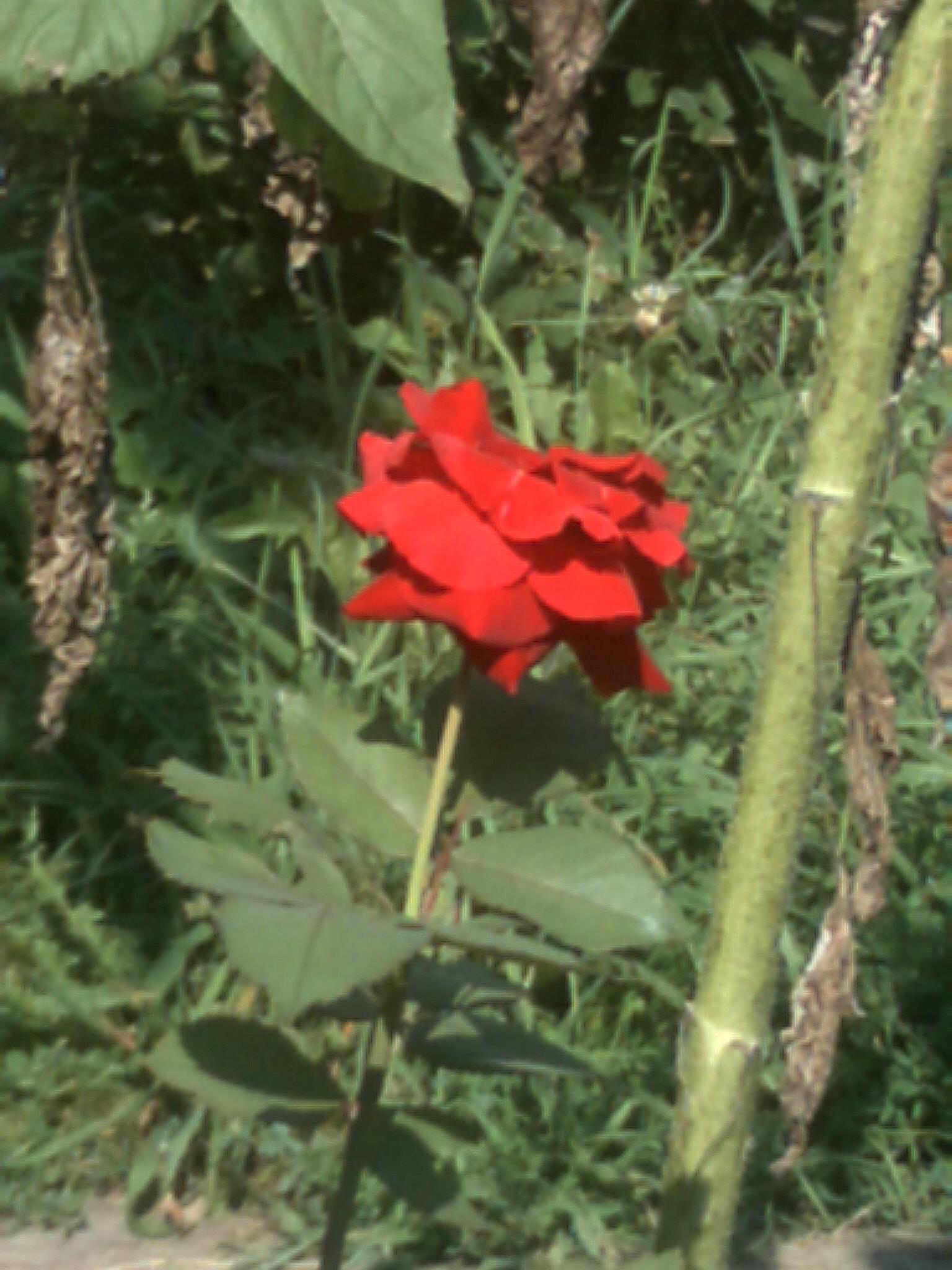 a single rose by franki503