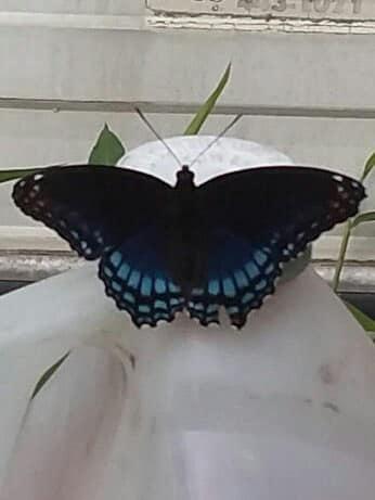 butterfly by franki503