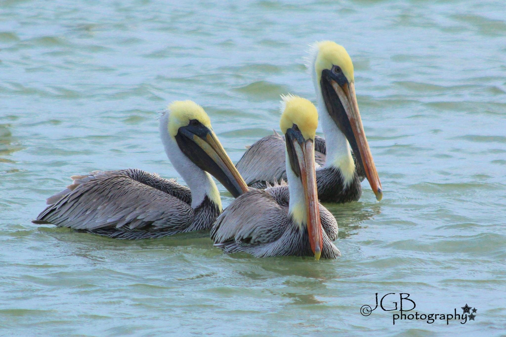 Three Pelicans by JonhayGBuitron
