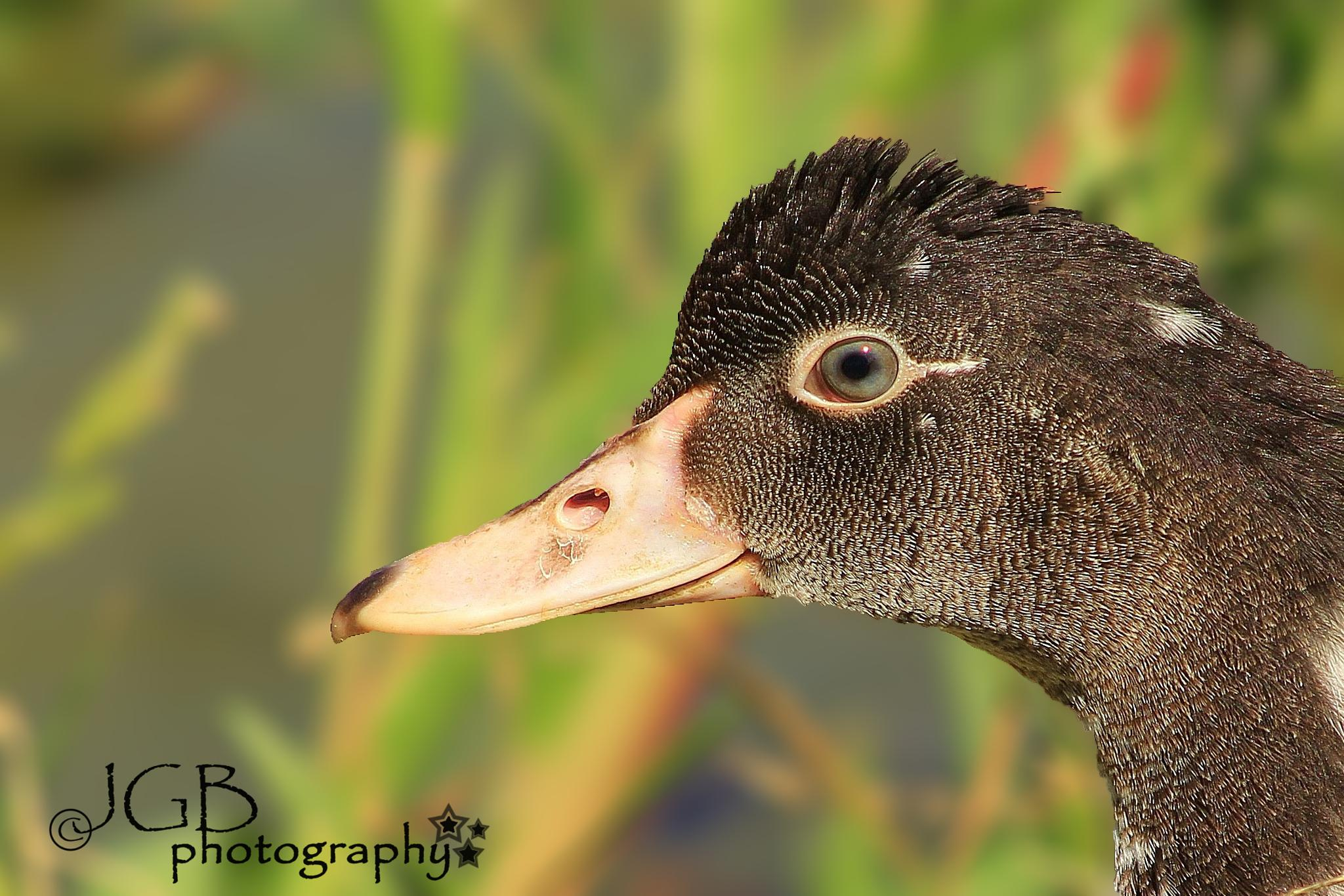 Duck close Up by JonhayGBuitron
