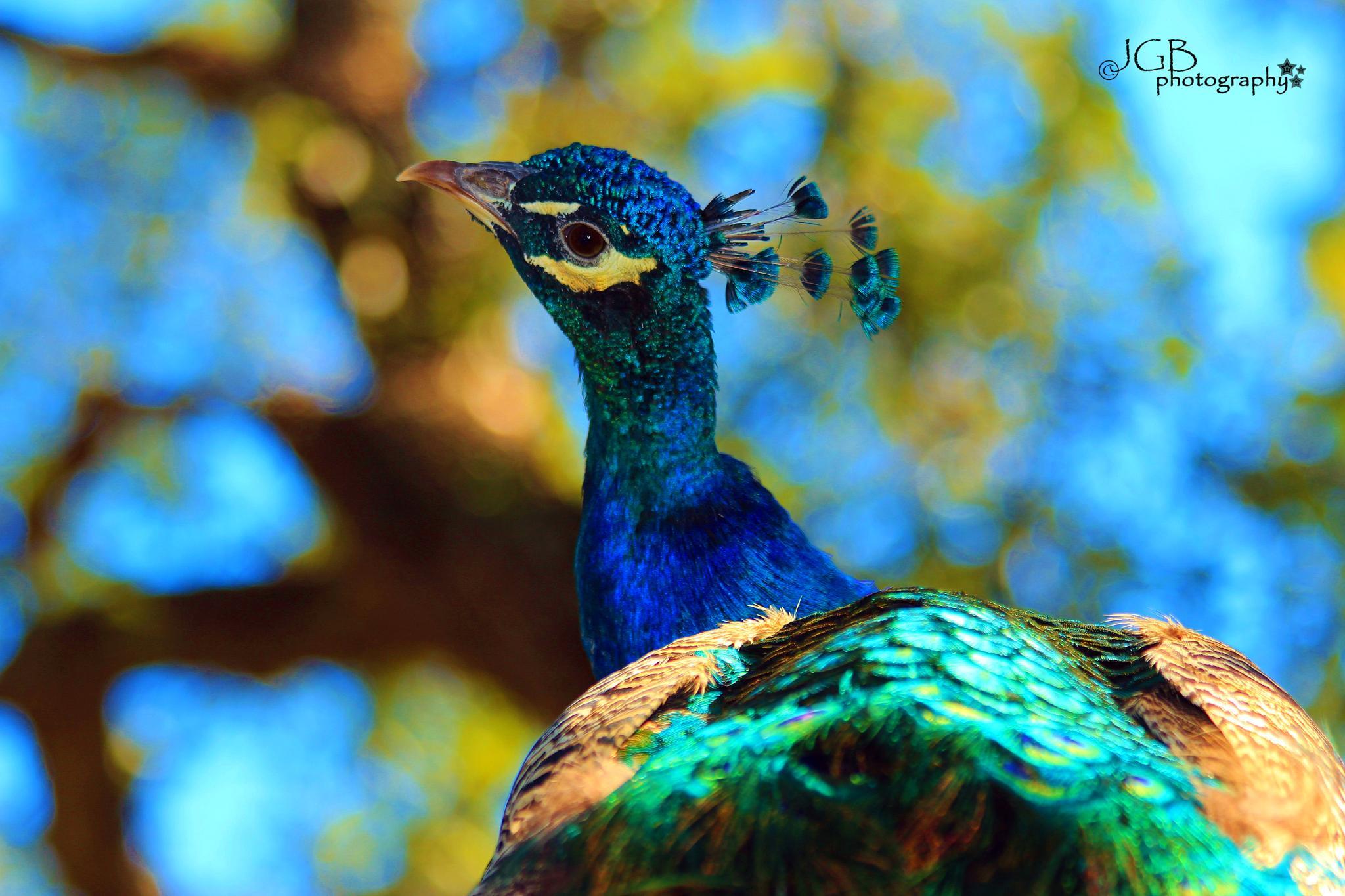 Indian Peafowl / Peacock by JonhayGBuitron