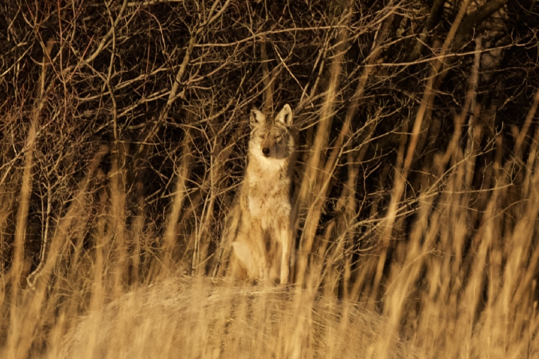 Coyote by brutale910crb