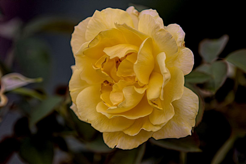 Yellow rose by ochemodan