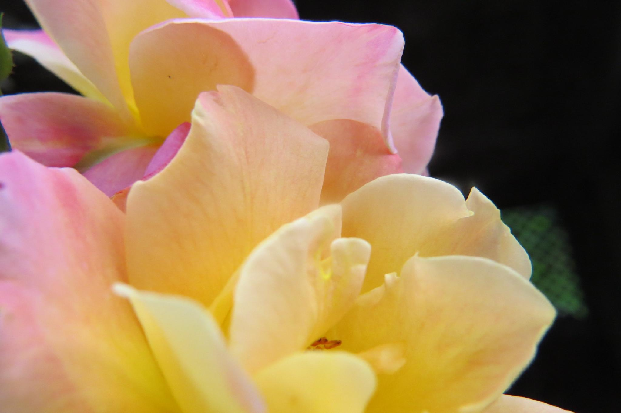 Rose petals  by Mary E Munisteri