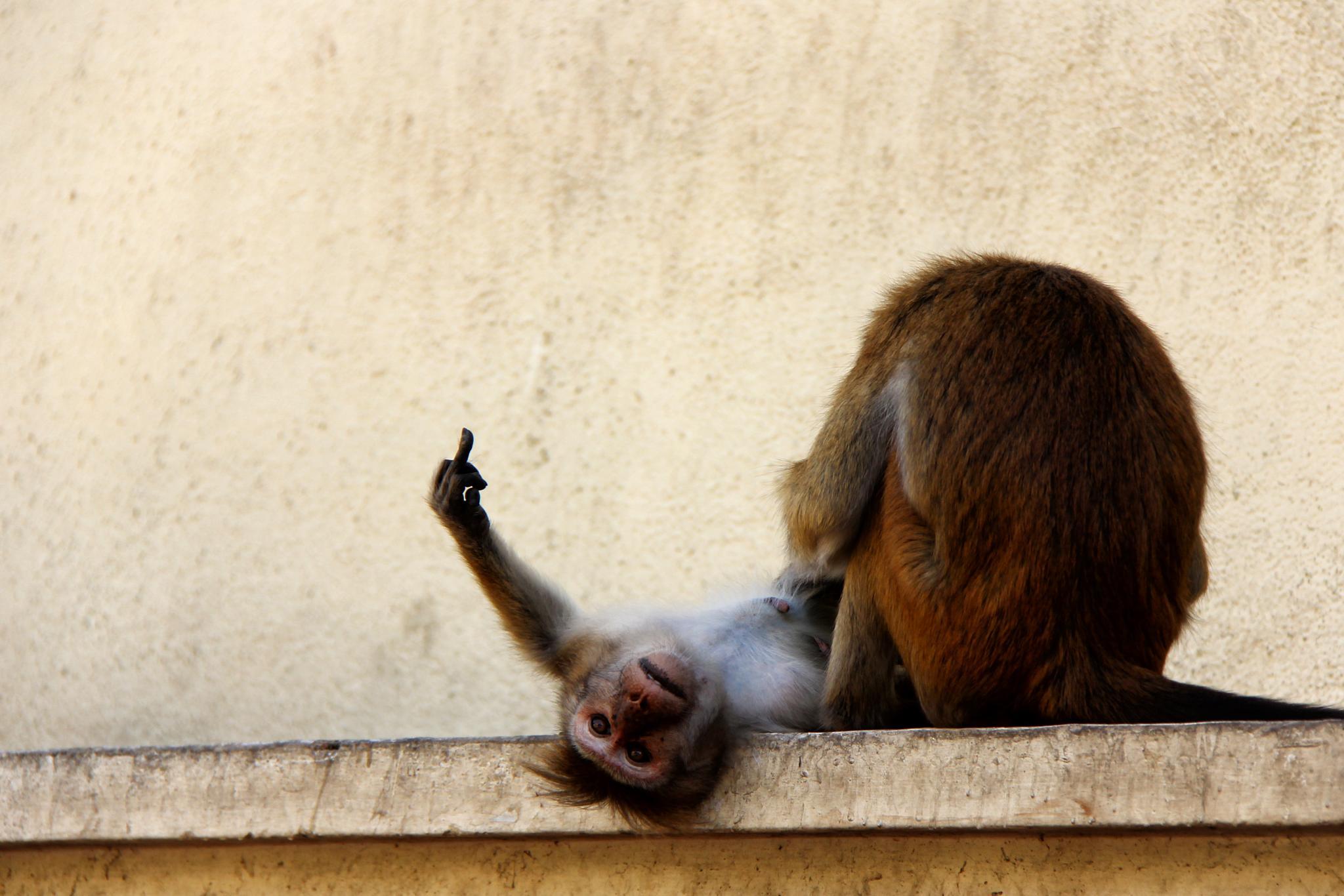 Photo in Animal #monkey #angry #sri lanka #srilanka #travel #tourism #photography #kandy #animals #beautiful