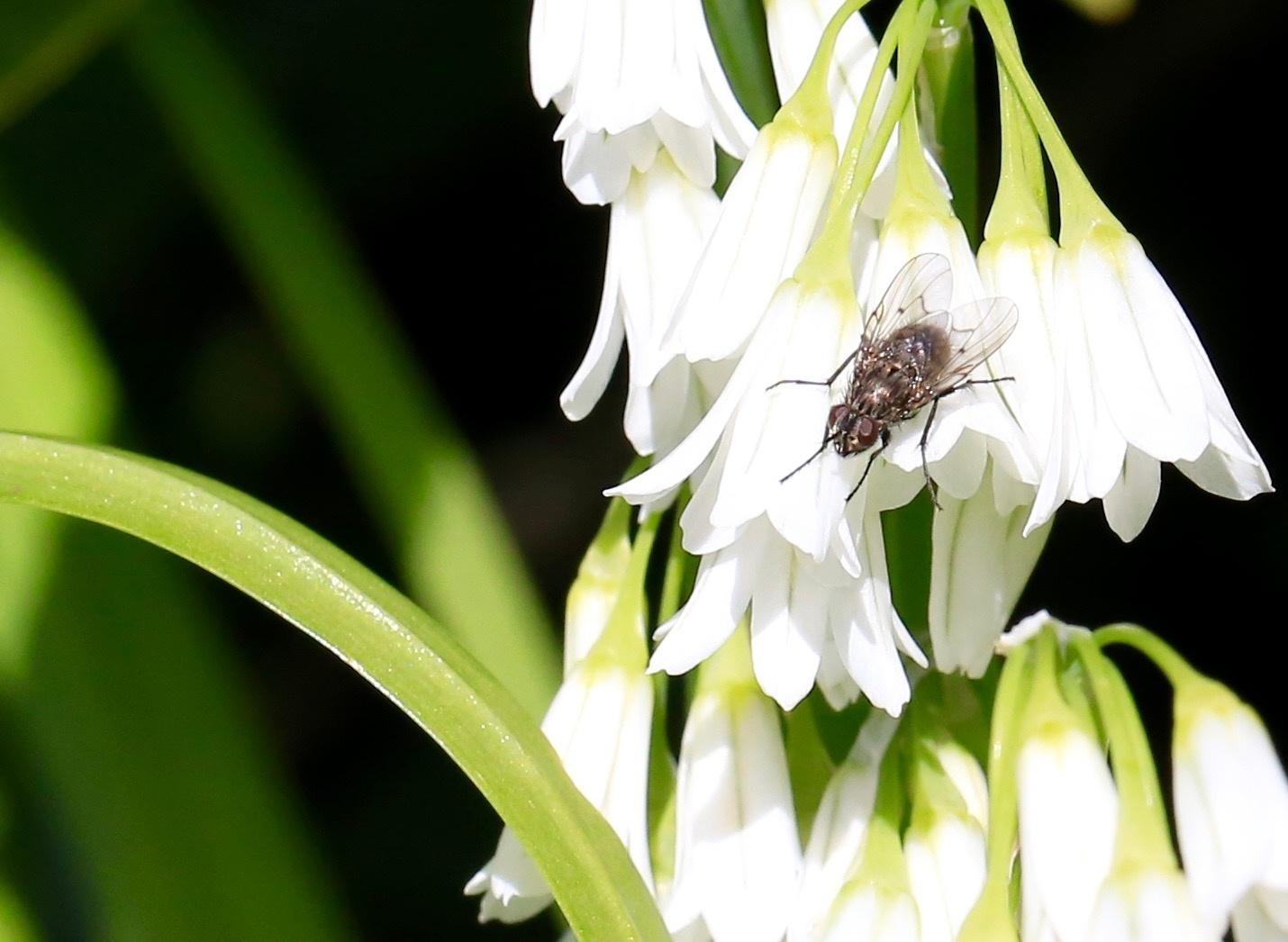Spring garlic and fly by gaffer.lyons