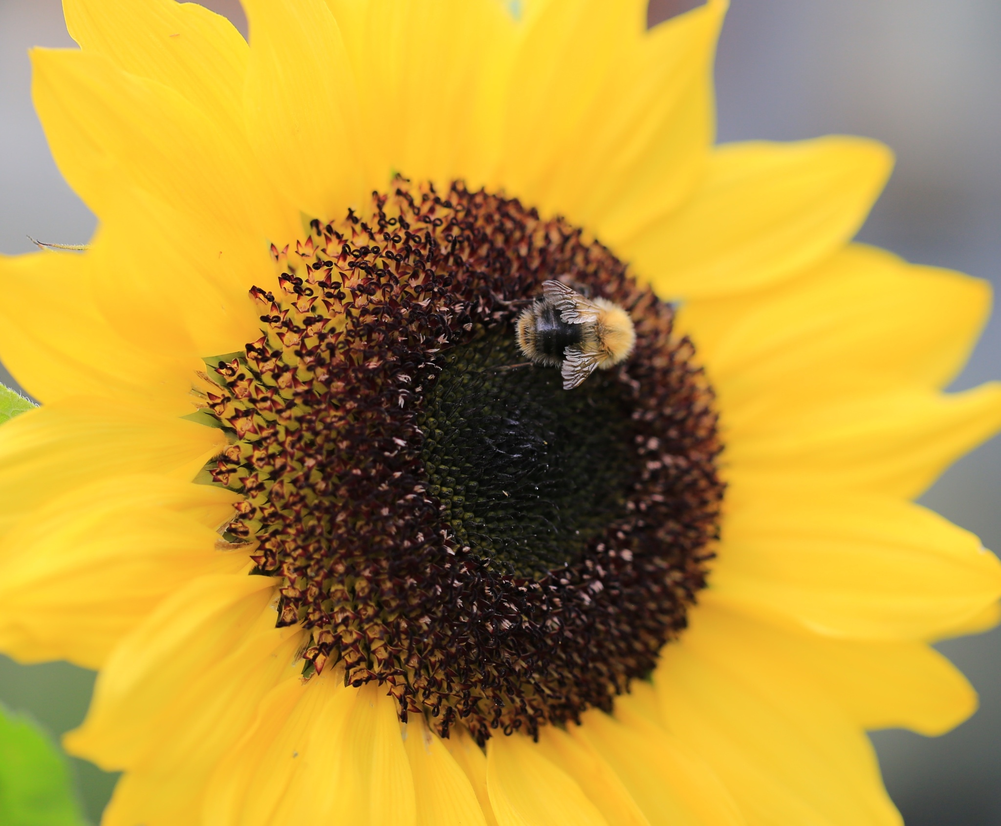 Bee on Sunflower by gaffer.lyons