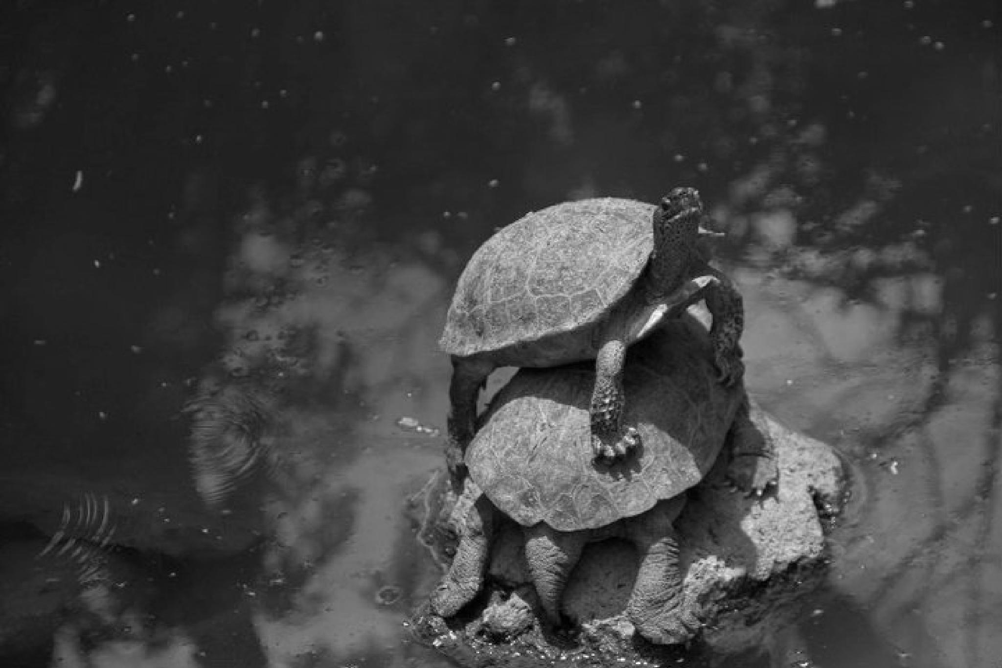 turtles chilling by jokumzie