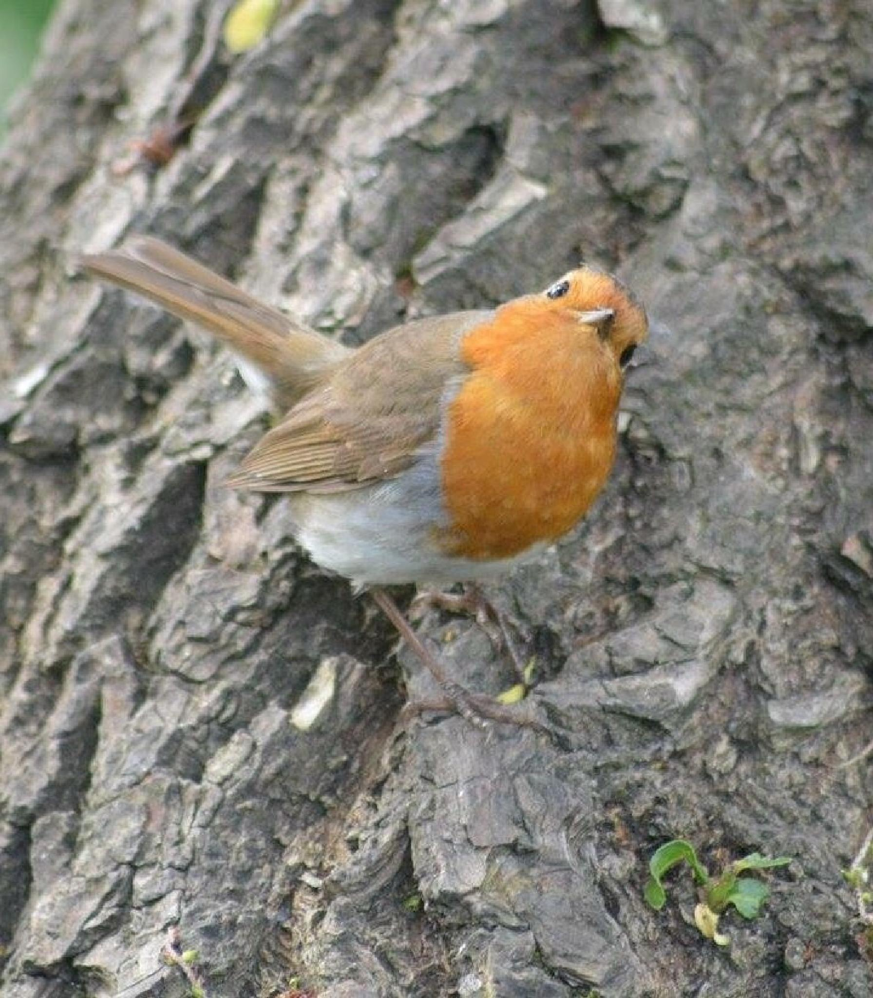 Robin red breast  by cazbrown1988