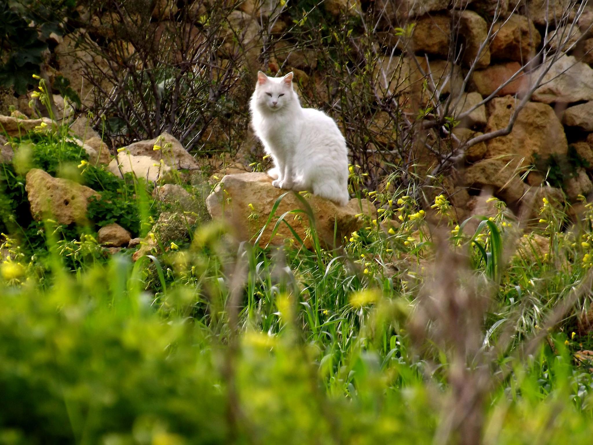 White Cat by Rrapa