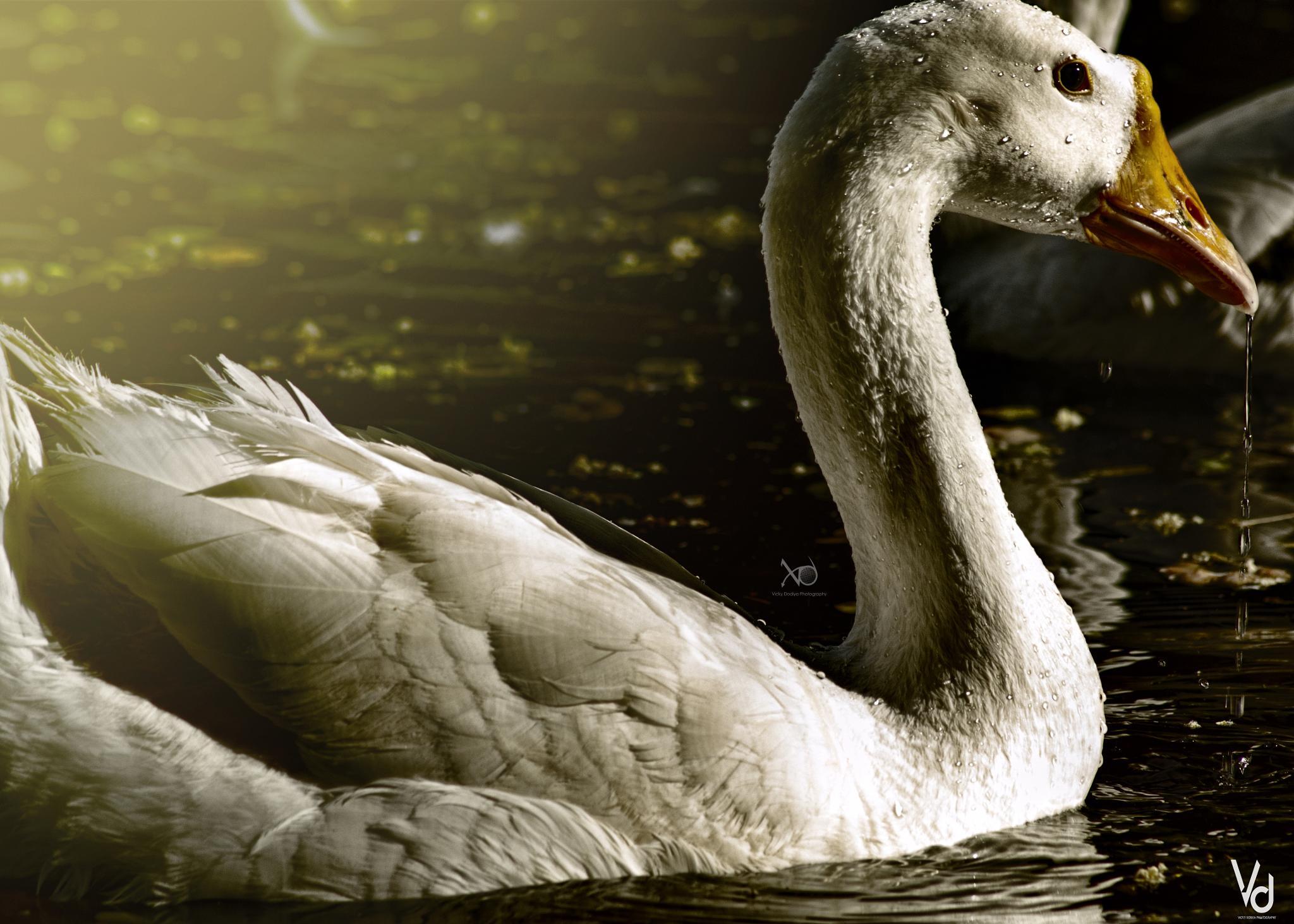 Celestial swan by Vicky Dodiya
