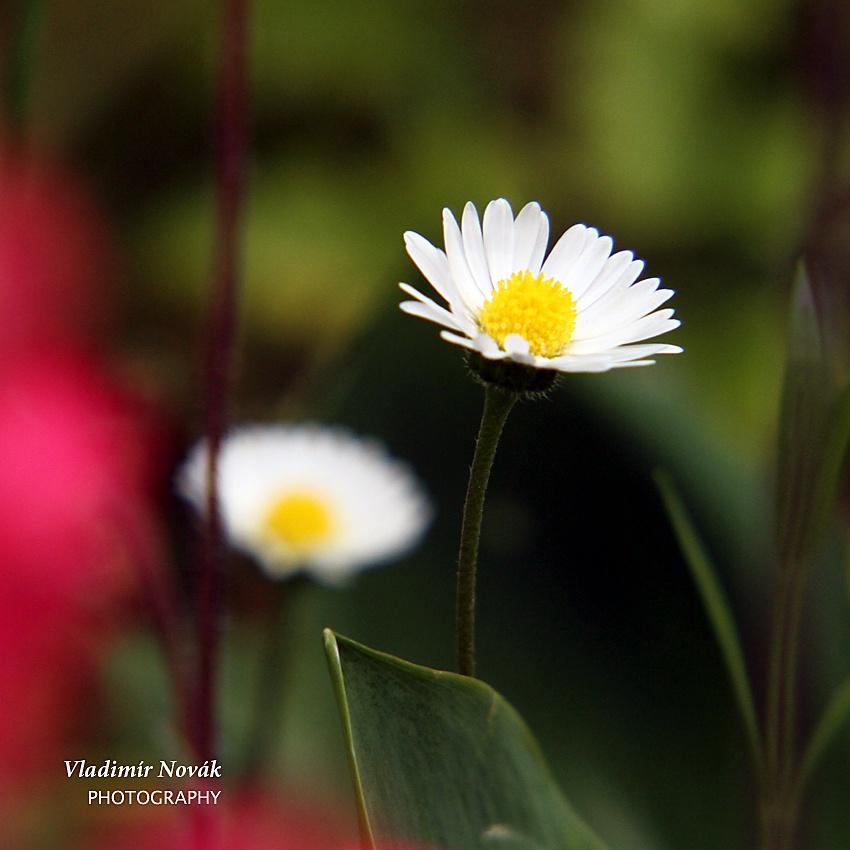 Flower by Vladimír Novák